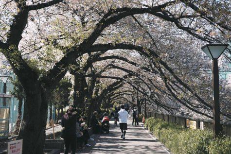 Behind This Year's Early Sakura Bloom